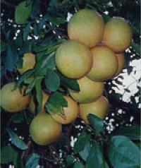 グレープフルーツの房