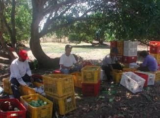 フィリピンマンゴーの生産地