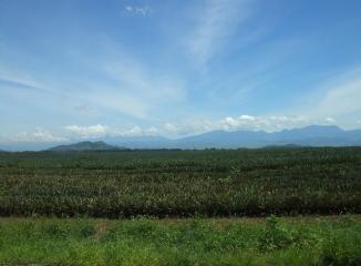 パイナップルの生産地