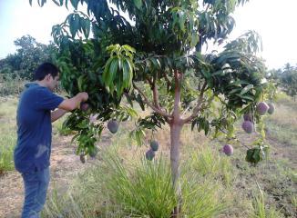 メキシコマンゴー産地