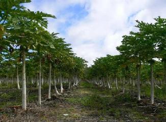 ハワイ産パパイヤの木