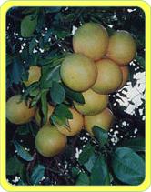 グレープフルーツはぶどうではないのになぜ「グレープ」がつくのですか。