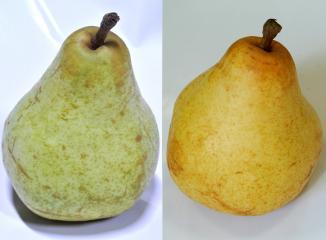 西洋梨の見分け方
