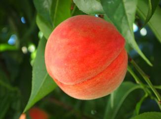 桃の産地(山梨県)