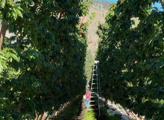 レイニアチェリー産地農園