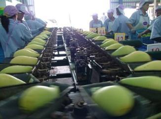 タイマンゴーのパッキング工場