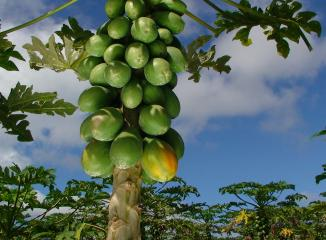 樹に生るハワイ産パパイヤ