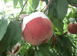 山梨県産の桃を産直でお届け