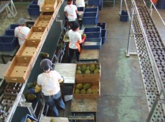 パイナップルパッキング工場