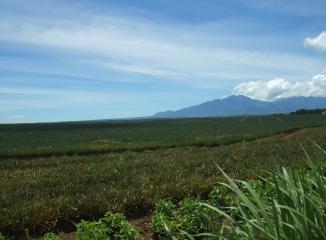 パイナップル畑