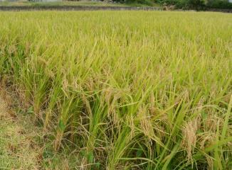 群馬産米の田んぼ