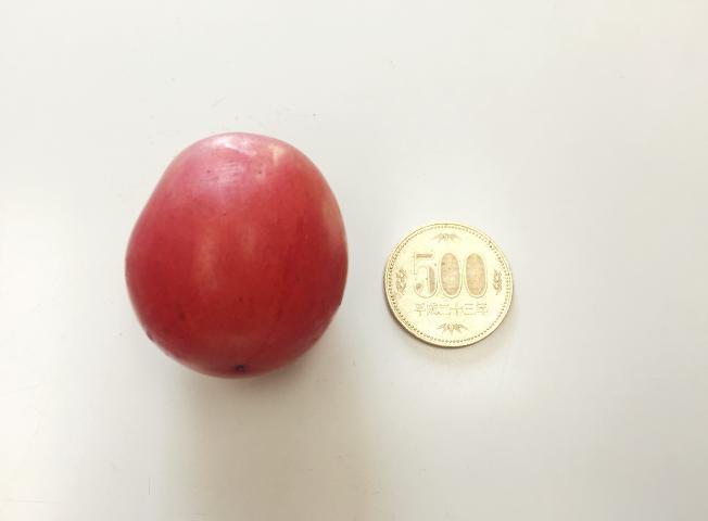 ルビーロマンの大きさ(対500円硬貨)