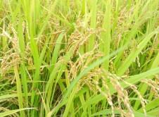 群馬県産 米
