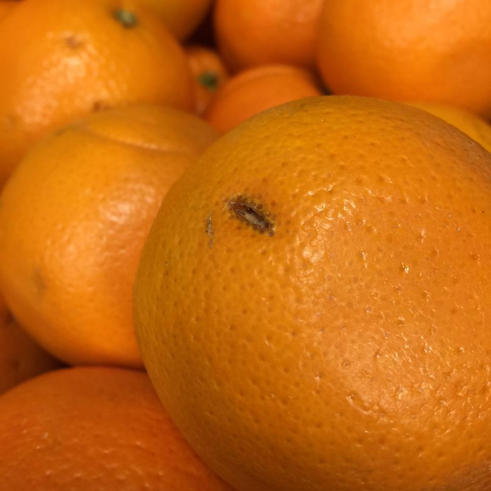 訳ありネーブルオレンジ